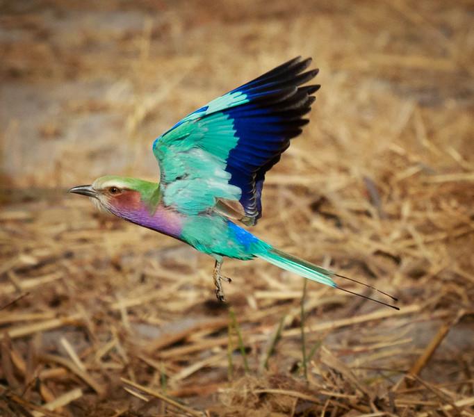 Lilac Roller in Flight