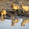 Four cubs at water