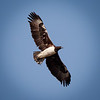 Martial Eagle in flight