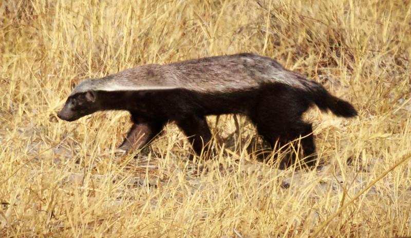 Honey Badger ( rare sighting)