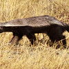 Honey Badger ( rare sighting)