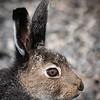 Hare Closeup