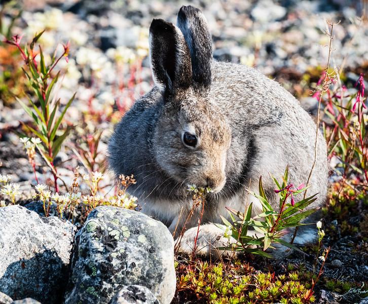 Arctic Hare enjoying a meal