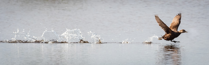 Long-tailed  Duck Taking off.