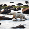 Polar Bear coming ashore