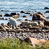 Female Polar Bear and her cubs