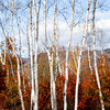White Mountain Birch<br /> New Hampshire