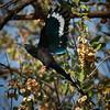Green Wood-Hoopoe in flight