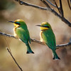 Little Bee-eater pair