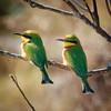 Little Bee-eater pair