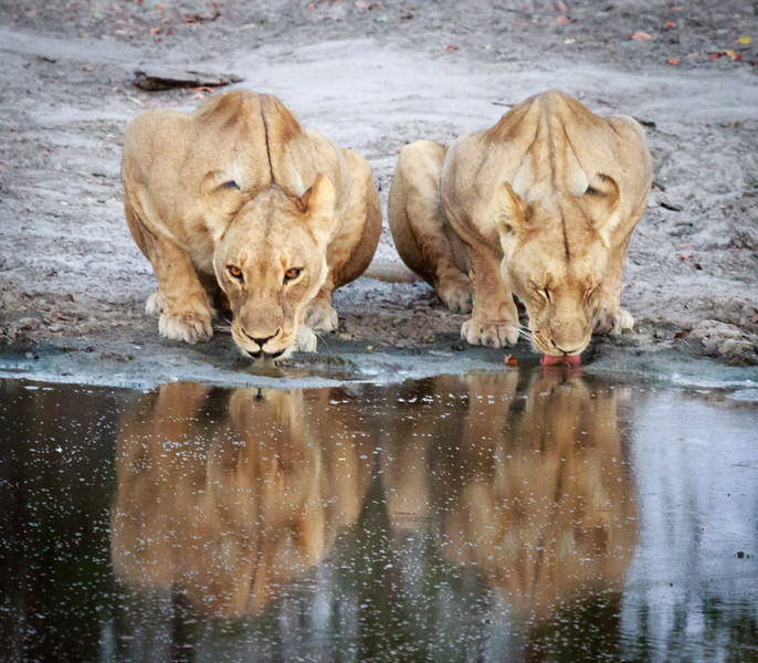 Lions at Pond