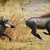 Warthogs on the run