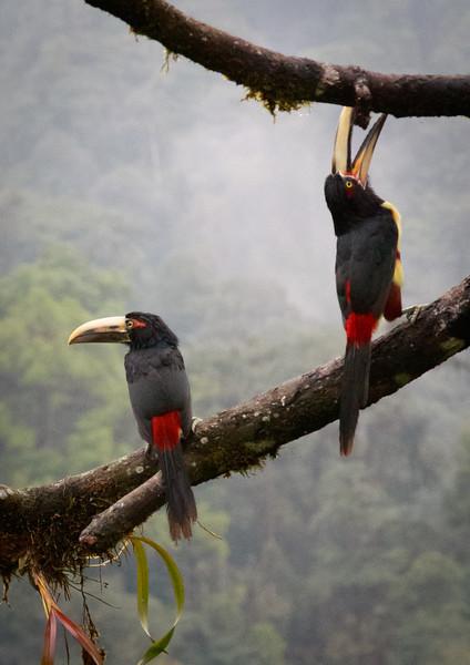 Pale-mandibled Aracari pair