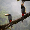 Pale-mandibled Aracari pair