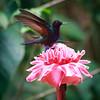 Velvet Purple Coronet on flower