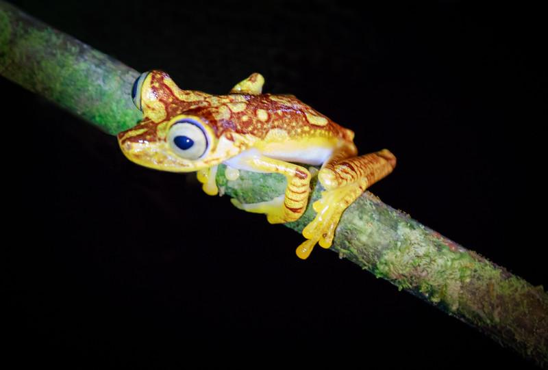 Golden Night Tree Frog