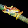 Golden Night Tree Frog