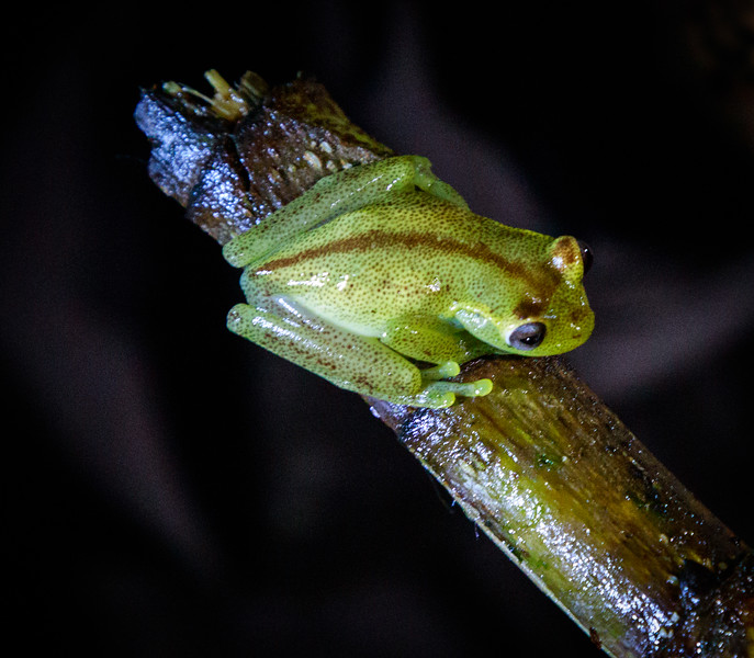 Mashpi Frog