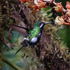 Green Thorntail at Flower