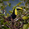 Chesnut -mandibled Toucan