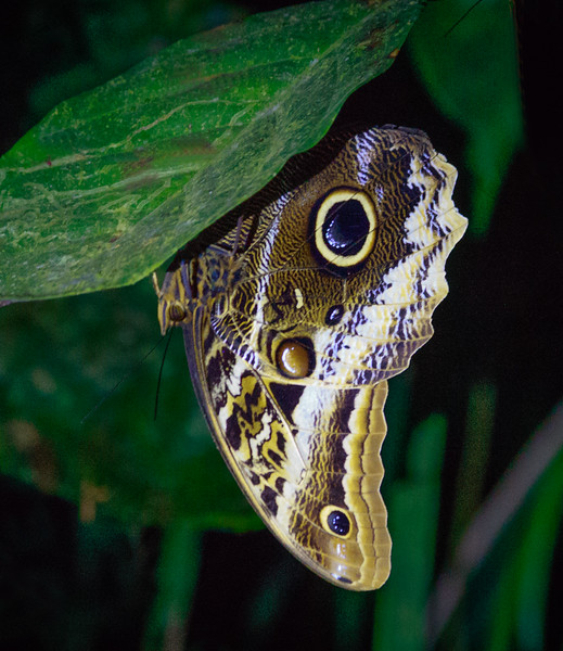 Owl-eyed Butterfly