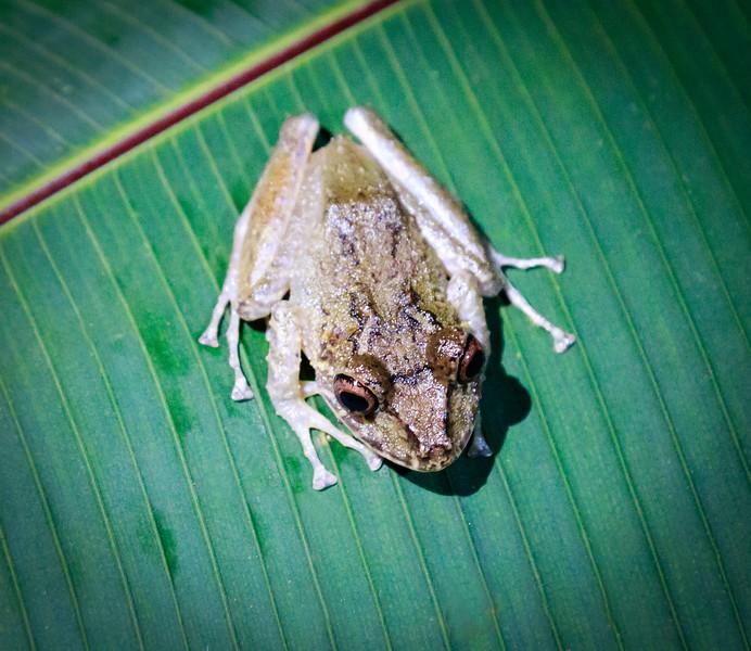 Leaf tree Rain Frog