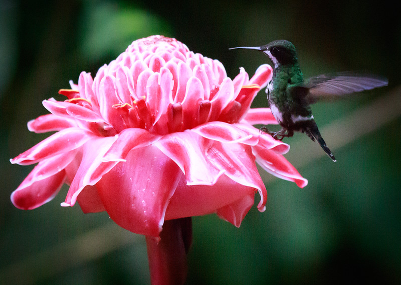Thorntail on pink flower