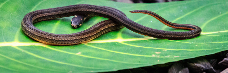 Brittle Ribbon Snake