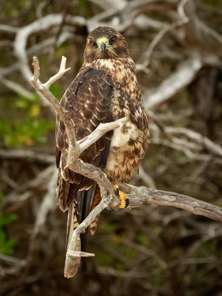 Immature  Hawk