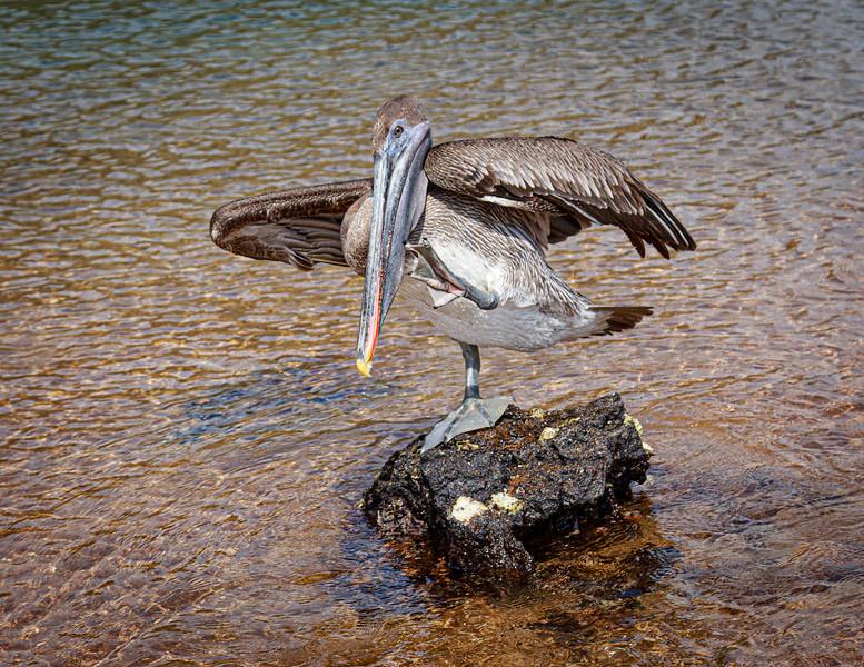 Pelican Dancer