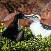Frigatebird feeding chick