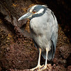 Night Heron