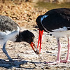 Oystercatcher feeding chick