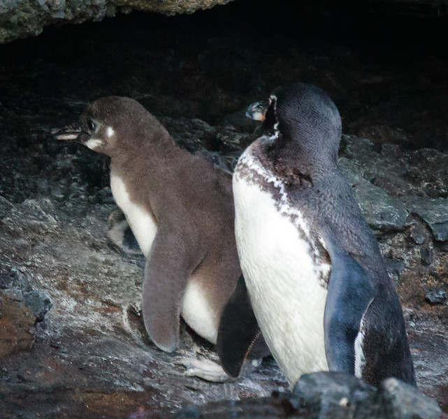 Adult & Penguin chick