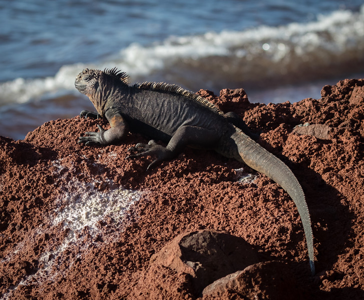 Marine Iguana BW