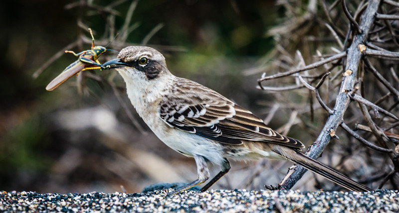 Galapagos Mockingbird with insect