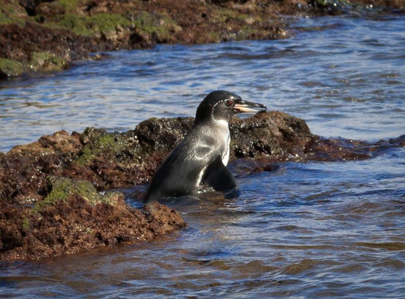 Galalagos Penguin