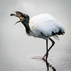 Woodstork enjoying fish dinner