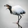 White Stork & fish