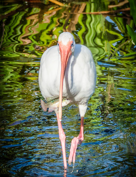 Ibis with Fish