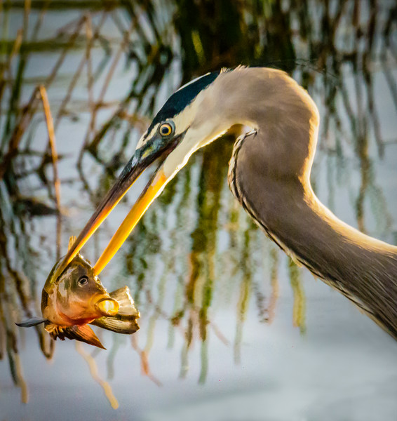 Heron with catch