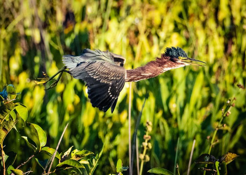 Green Heron in flight