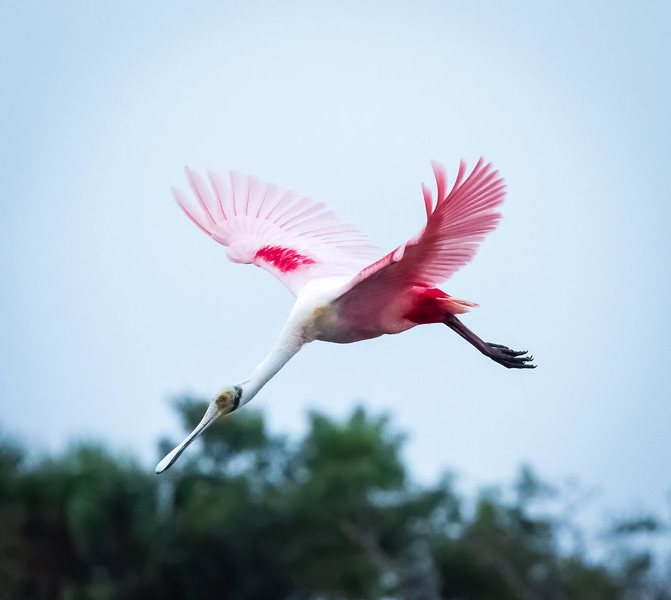Roseate Spoonbill in flight, Peaceful Waters