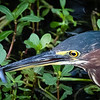 Green Heron with fish, Wakodahatchee