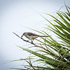 Northern Mockingbird with seed, Loxahatchee