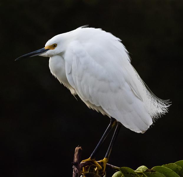Little Egret, Wakodahatchee