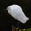 Little Egret, Wakodahatchee