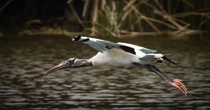 Woodstork in flight, Wakodahatchee Wetlands