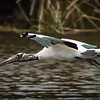 Woodstork in flight, Wakodahatchee Wetlands