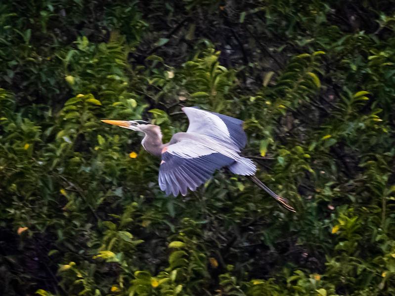 Heron in flight, Wakodahatchee
